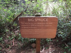 big-spruce-at-cape-meares_25796776333_o