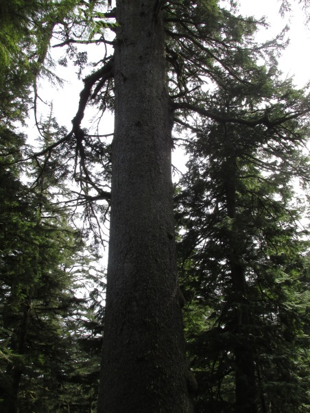 big-spruce-at-cape-meares_26126686380_o