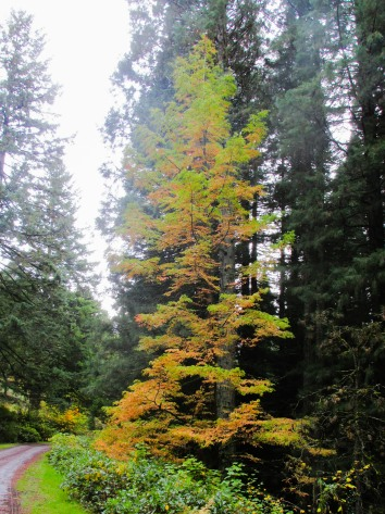 the-ultra-rare-dawn-redwood-a-tree-only-discovered-in-the-1940s-though-it-lived-here-thousands-of-years-ago-its-changing-colors-because-its-deciduous-dawnredwood-hoytarboretum_30591237645_o